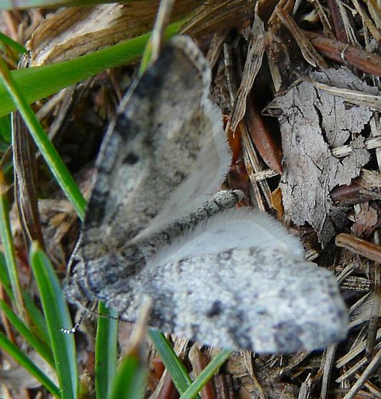 Carpet Moth - Lobophora magnoliatoidata