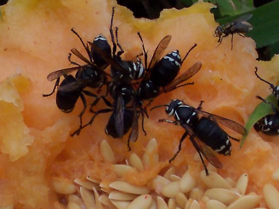 Wasp from my backyard - Dolichovespula maculata