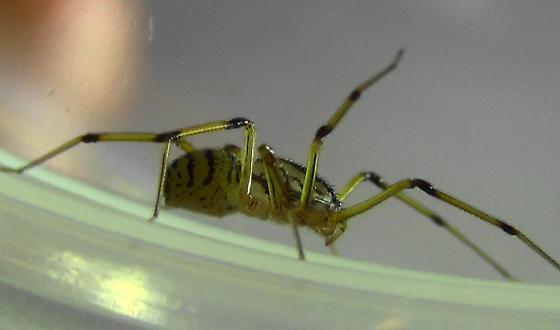 Spit-balls - Scytodes lugubris - female