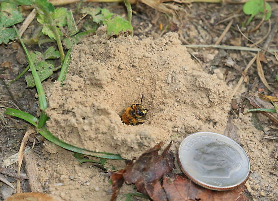 Bees that live in underground tunnels - Andrena accepta