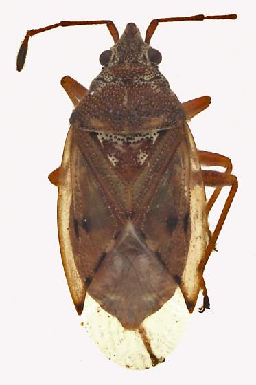 Seed bug - Kleidocerys resedae