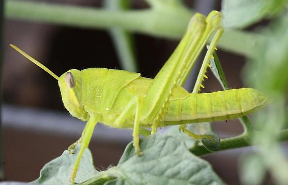Short-horned Grasshopper - Acrididae, nymph - Schistocerca