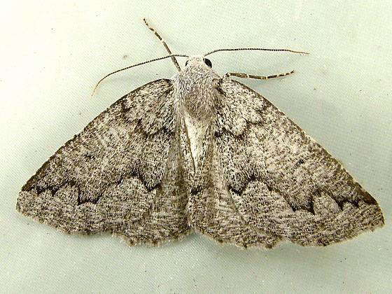 2173 Enypia packardata - Packard's Girdle Moth 7007 - Enypia packardata