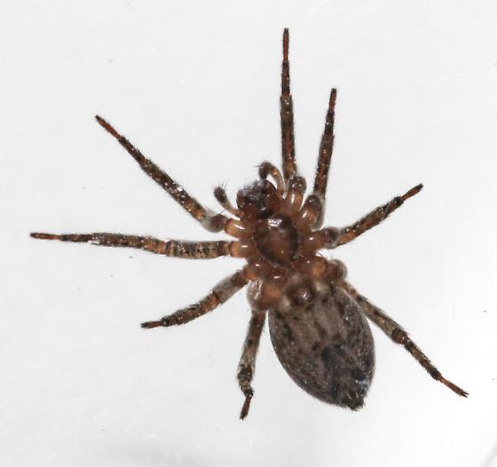 Anyphaena dixiana - ventral - Anyphaena dixiana - female
