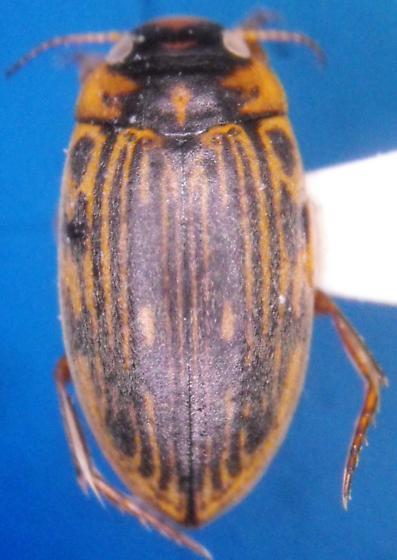 Boreonectes griseostriatus