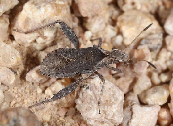 Tucson Mountains bug - Stachyocnemus apicalis
