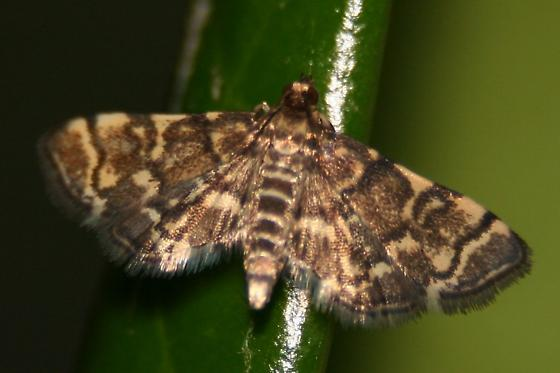 Moth - Yellow-spotted Webworm - Dorsal - Anageshna primordialis