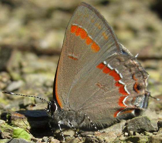 Beautiful Butterfly - Calycopis cecrops