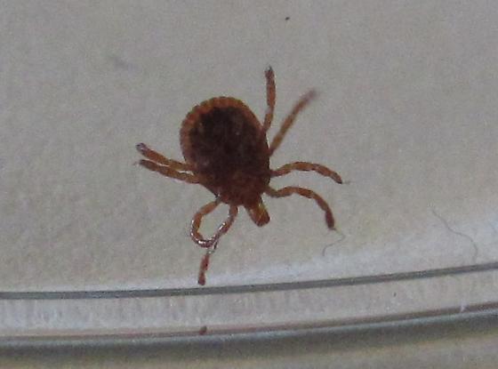 Possible Tick? 2 - Amblyomma americanum - male