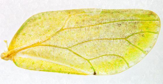 Aphalaroida? Female? - Aphalaroida spinifera - female