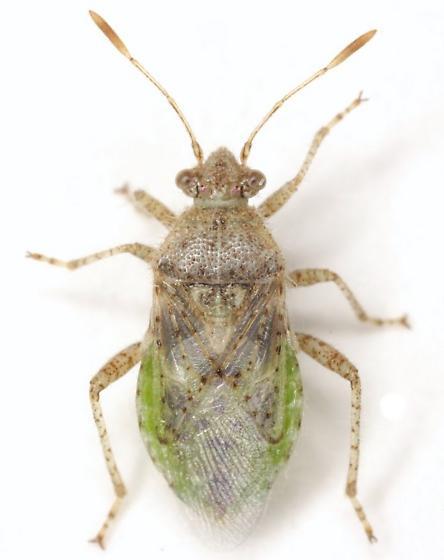 Arhyssus - Arhyssus lateralis