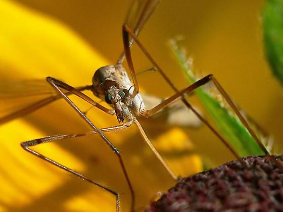 Crane fly to identify... - Tipula paludosa