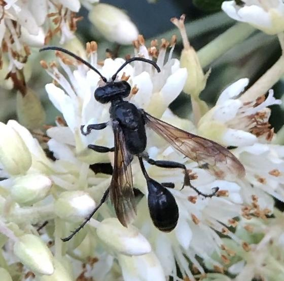 Looks like mud dauber but is all black, not black and yellow. - Isodontia mexicana