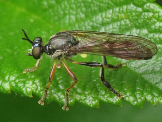 robber fly - Dioctria