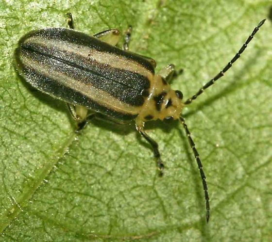?Trirhabda sp. - Derospidea brevicollis