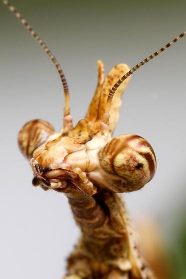 Arizona Unicorn Mantis Nymph? - Pseudovates arizonae
