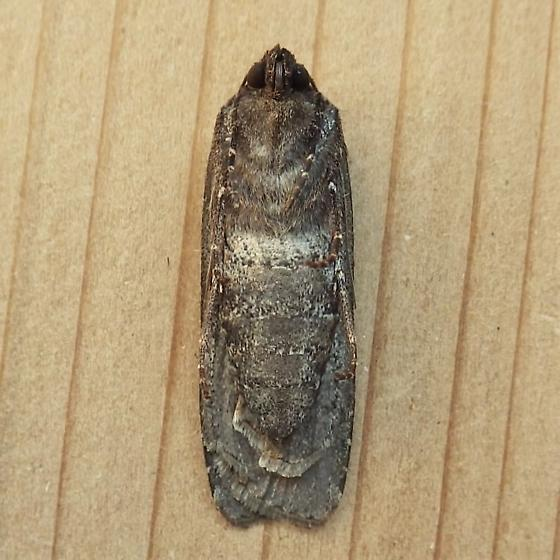 Noctuidae: Actebia fennica - Actebia fennica - female