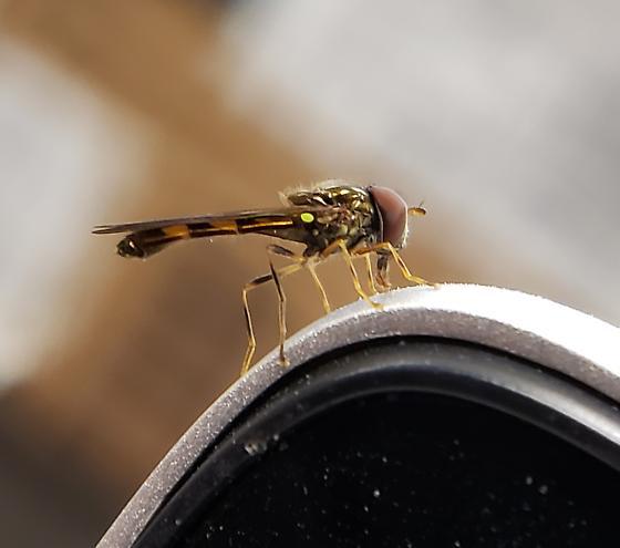 Dipteran - Melanostoma mellinum