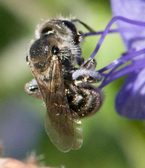 Halictid - Dufourea - female
