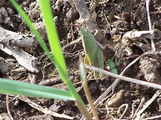 short horned grasshopper (acrididae) - Chortophaga viridifasciata