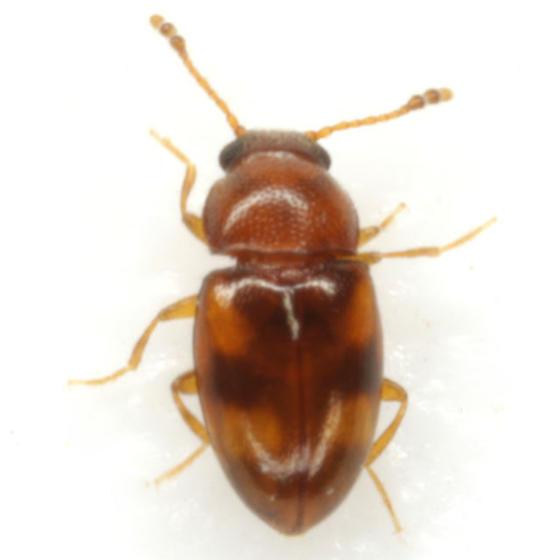 Toramus pulchellus (LeConte) - Toramus pulchellus