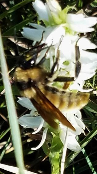Bee on Prairie Orchid - Bombus pensylvanicus - male