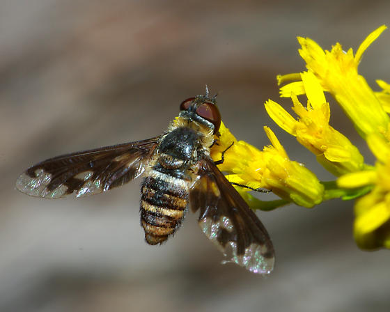 Exoprosopa fascipennis? - Exoprosopa fascipennis