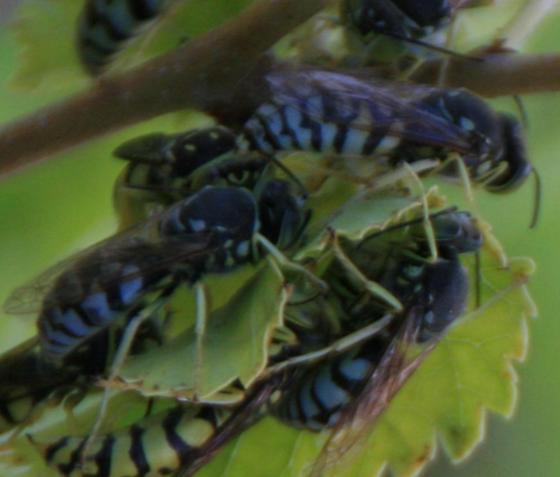 Sand Wasp in the Subfamily Bembicinae - Steniolia