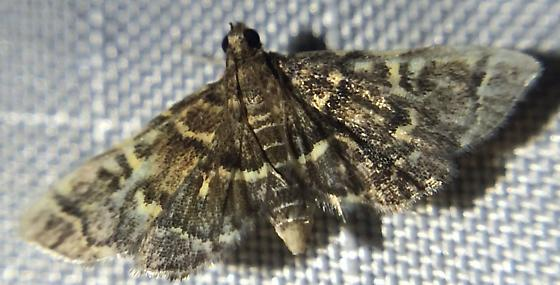Snout Moth 3 - Anageshna primordialis