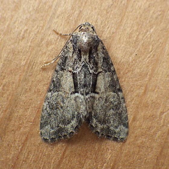 Noctuidae: Neoglia canadensis? - Neoligia subjuncta