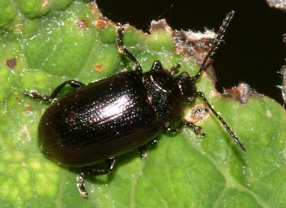 Leaf Beetle - Phratora