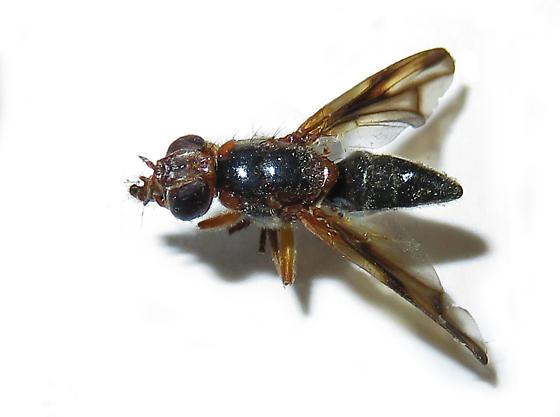 Fly identification request - Senopterina varia