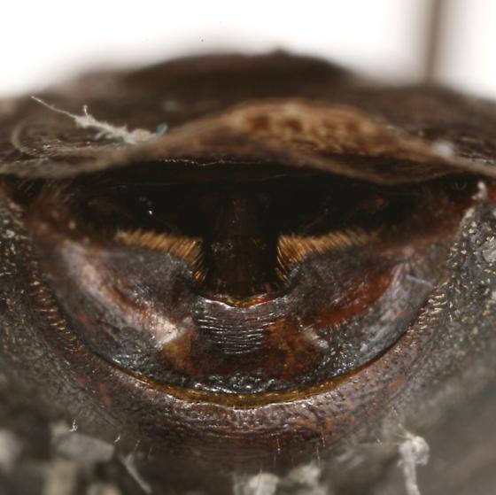 Brochymena carolinensis (Westwood) - Brochymena carolinensis