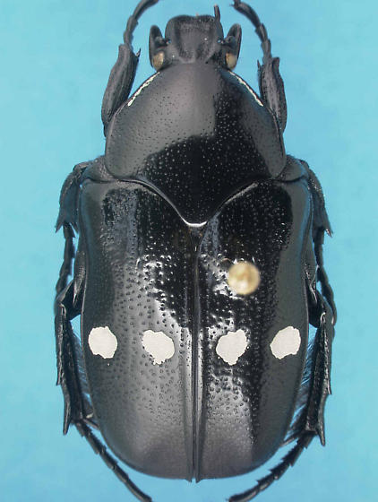 Gymnetina cretacea sundbergi Warner & Ratcliffe - Gymnetina cretacea - male