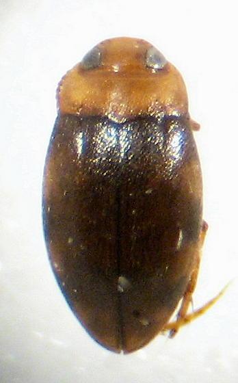 Bidessonotus inconspicuous (LeConte) - Bidessonotus