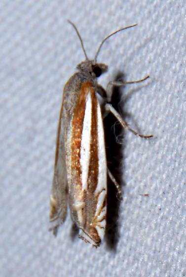 Phaneta sp. (maybe P. argenticostana or P. clavana) - Eucosma fulvotegulana