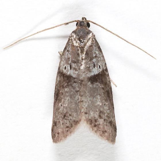 Lotisma trigonana