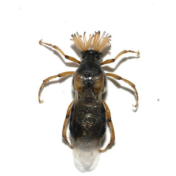 Male - Ripiphorus - male