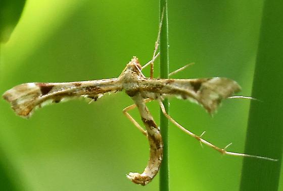 Platyptilia carduidactylus? - Platyptilia carduidactylus