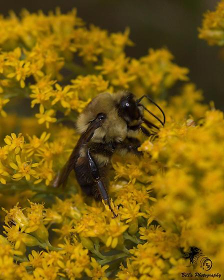 Male Bumble Bee - Bombus griseocollis - male