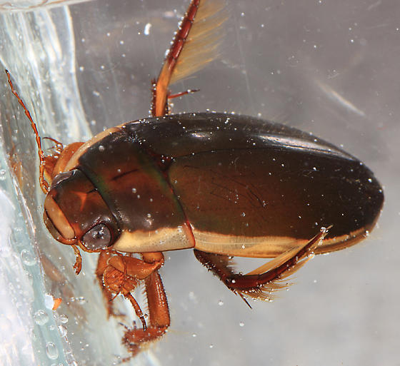 Predacious Diving Beetle - Dytiscus carolinus