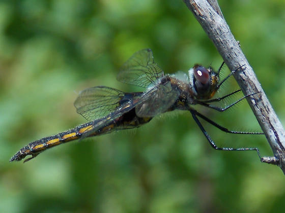 Mantled Baskettail - Epitheca semiaquea
