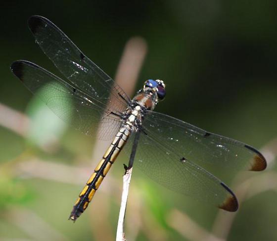 unknown - Libellula vibrans - female