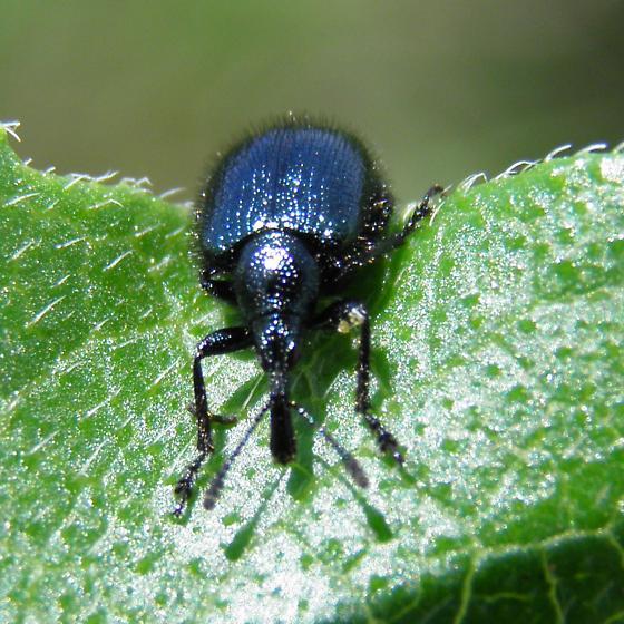 Weevil - Haplorhynchites pseudomexicanus