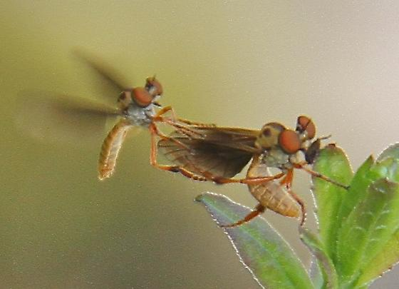 Robber Fly - Holcocephala abdominalis - male - female