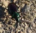Iridescent Ground Beetle? - Agonum cupripenne
