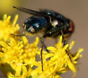 little blue fly - Cochliomyia macellaria