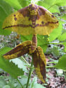 Imperial Moth Mating - Eacles imperialis