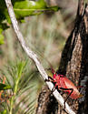 Red Katydid - Paracyrtophyllus robustus - female