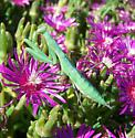 Big Praying Mantis - Mantis religiosa - female